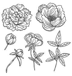 hand drawn peonies set vector image