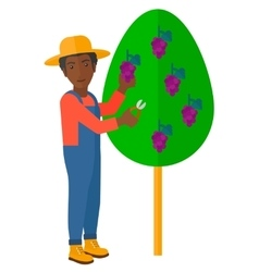 Farmer collecting grapes vector image