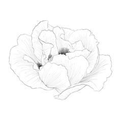 black and white Plant Paeonia arborea Tree peony vector image