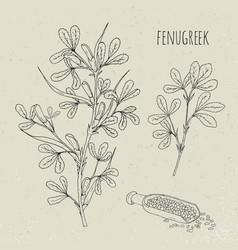 fenugreek medical botanical isolated vector image