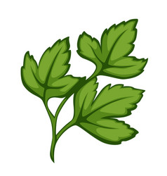 Cilantro or parsley herb for complementing salads vector