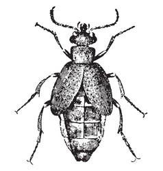 Oil beetle vintage vector