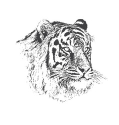 face of calm tiger vector image vector image