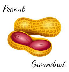 Peanut groundnut in vector