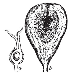 Section of fruit of fig vintage vector