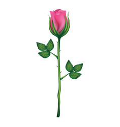 pink rose isolated on a white background vector image