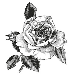 rose hand drawing vector image