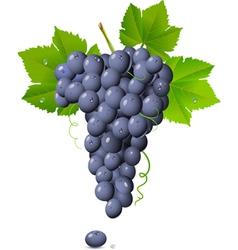 vineyard grapes vector image vector image