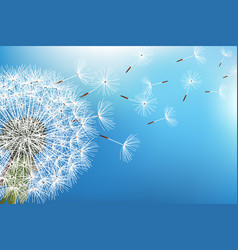 Dandelion blowing seed on blue background vector