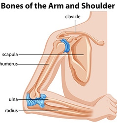 Bones of the arm and shoulder vector