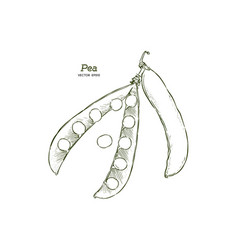 pea pods vector image