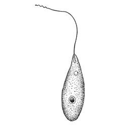 Sarcomastigophora vintage vector
