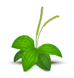 Realistic detailed 3d green leaves plantago major vector