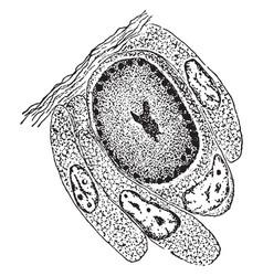 Reproduction of an individual euplotes harpa vector