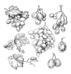 grapes bunch sketch vector image