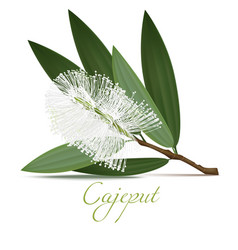 cajeput flower and leaves in realistic style vector image