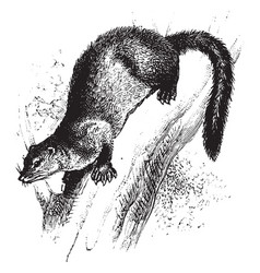 Fisher marten in tree vintage vector