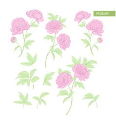 set of peony flowers elements botanical vector image