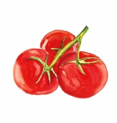 tomato watercolor painting on white vector image