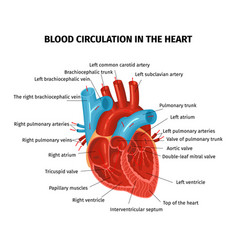 Heart blood flow composition vector