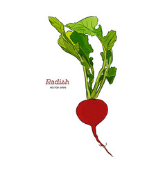 one radish isolated on white background vector image
