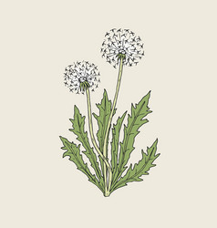 beautiful drawing of dandelion plant with ripe vector image