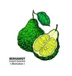 bergamot drawing isolated vintage vector image