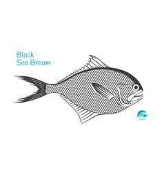 black sea bream hand-drawn vector image
