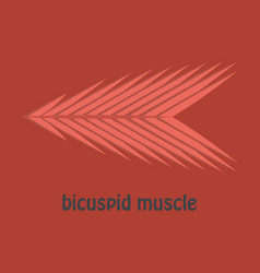 Flat bicuspid muscle vector