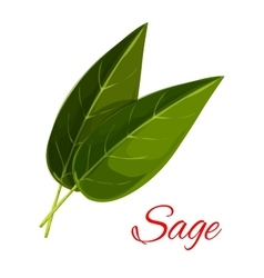 Sage herb leaves isolated icon vector image