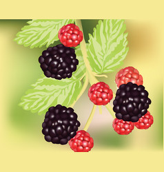 Fresh blackberry fruits growing realistic vector