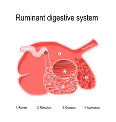 ruminant digestive system four compartments vector image
