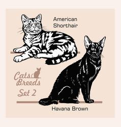 Cat breeds - american shorthair havana brown vector