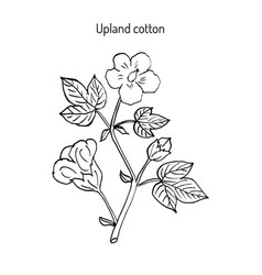 cotton plant with flower vector image
