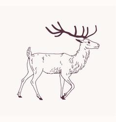 Elegant outline drawing walking male deer vector