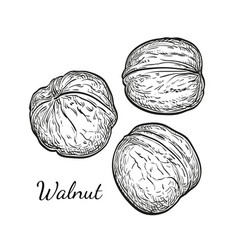 Ink sketch of walnuts vector