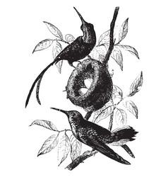 Topaz hummingbird vintage vector