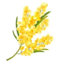 Yellow mimosa flower Acacia flower symbol of vector