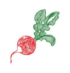 radish sketch vector image