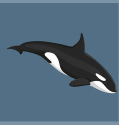 Killer whale swims isolated vector