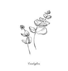 eucaliptus branch hand drawn botanical line art vector image