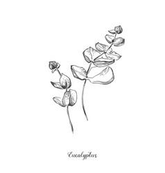 Eucaliptus branch hand drawn botanical line art vector