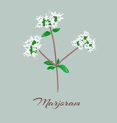 marjoram or origanum majorana vector image