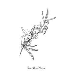 sea buckthorn branch drawing isolated vector image