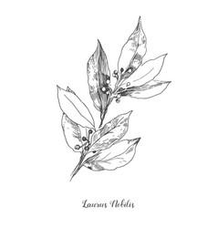 botanical leafs laurus vector image