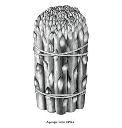 antique engraving asparagus black and white vector image