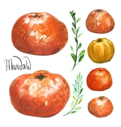 Set of hand drawn watercolor mandarins vector image