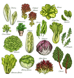 Sketch icons set of salads leafy vegetables vector