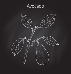 Avocado or alligator pear vector