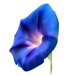 Blue realistic bindweed flower vector image vector image